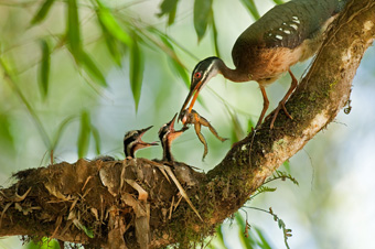Sunbittern feeding frog to chicks